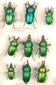 Beetles in the collection