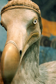 A model of the dodo on display