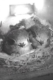 Swifts on a nest - image from webcam