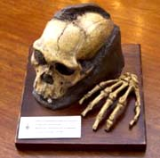 cast of skull and hand of Australopithicus sediba