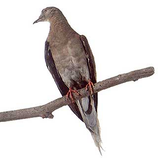 "The image ""http://www.oum.ox.ac.uk/thezone/animals/extinct/images/pigeon2b.jpg"" cannot be displayed, because it contains errors."
