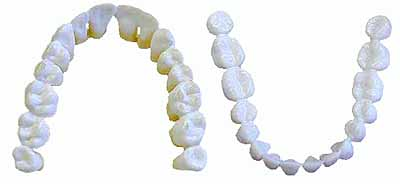 Image of: Carnivore Human Teeth The Awesome Daily The Learning Zone The Living Animal